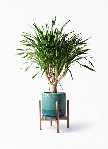 観葉植物 ドラセナ パラオ 8号 ビトロ エンデガ ターコイズ ウッドポットスタンド付き