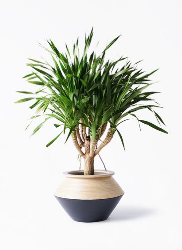 観葉植物 ドラセナ パラオ 8号 アルマジャー 黒 付き
