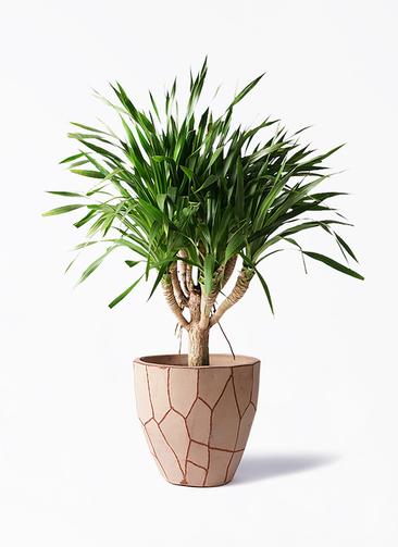 観葉植物 ドラセナ パラオ 8号 ウィスク 付き