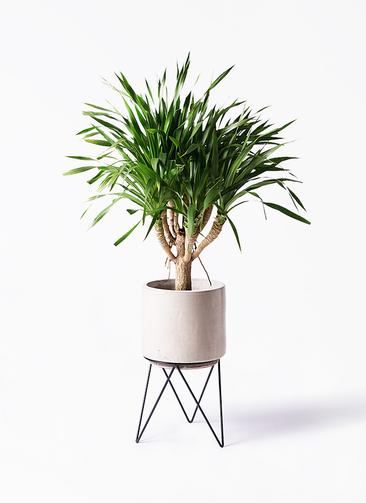 観葉植物 ドラセナ パラオ 8号 ビトロ エンデカ 鉢カバースタンド付 クリーム 付き