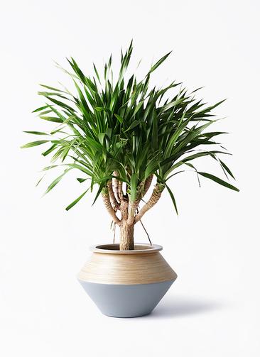観葉植物 ドラセナ パラオ 8号 アルマジャー グレー 付き