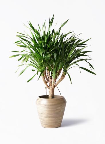 観葉植物 ドラセナ パラオ 8号 アルマ ミドル 付き