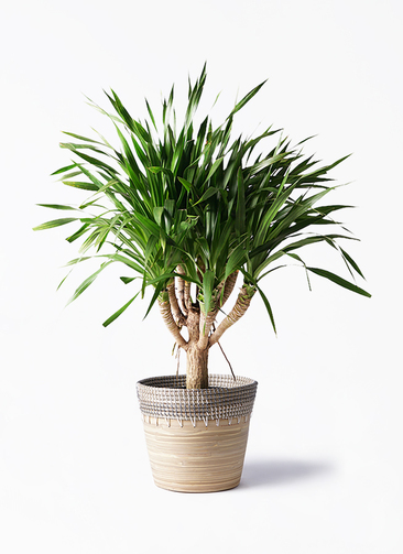 観葉植物 ドラセナ パラオ 8号 アルマ コニック 白 付き