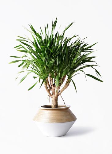 観葉植物 ドラセナ パラオ 8号 アルマジャー 白 付き