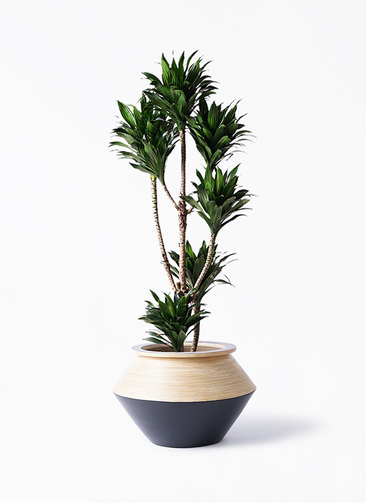 観葉植物 ドラセナ コンパクター 8号 アルマジャー 黒 付き