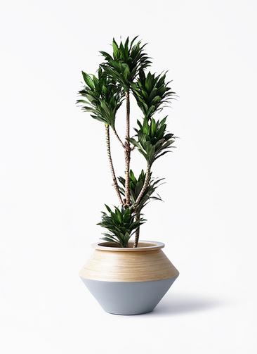 観葉植物 ドラセナ コンパクター 8号 アルマジャー グレー 付き