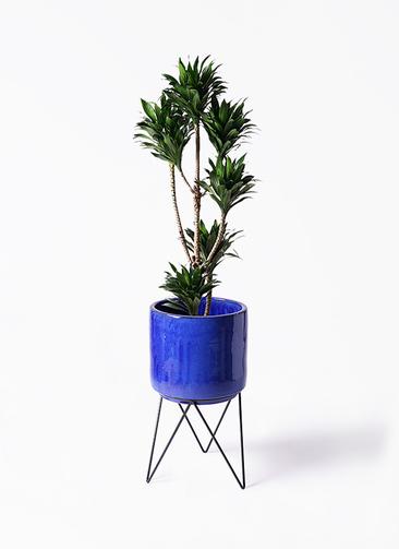 観葉植物 ドラセナ コンパクター 8号 ビトロ エンデカ 鉢カバースタンド付 ブルー 付き