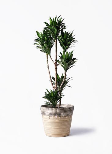 観葉植物 ドラセナ コンパクター 8号 アルマ コニック 白 付き
