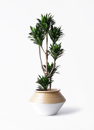 観葉植物 ドラセナ コンパクター 8号 アルマジャー 白 付き