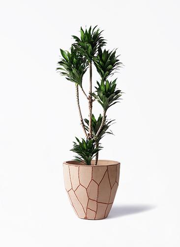 観葉植物 ドラセナ コンパクター 8号 ウィスク 付き