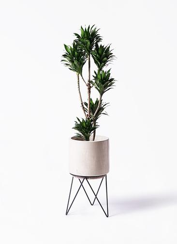 観葉植物 ドラセナ コンパクター 8号 ビトロ エンデカ 鉢カバースタンド付 クリーム 付き
