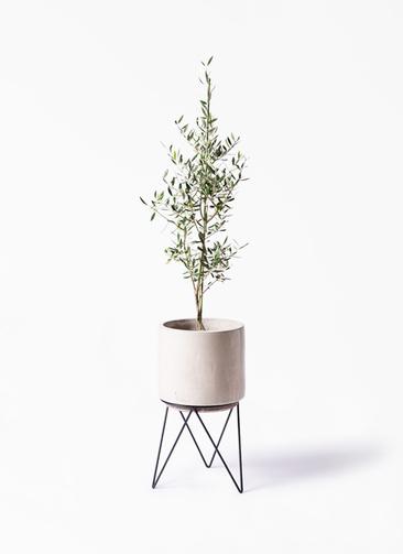 観葉植物 オリーブの木 8号 コロネイキ ビトロ エンデカ 鉢カバースタンド付 クリーム 付き