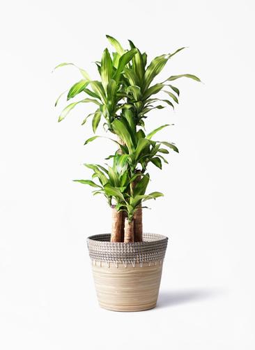 観葉植物 ドラセナ 幸福の木 8号 ノーマル アルマ コニック 白 付き