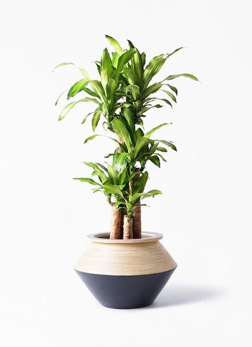 観葉植物 ドラセナ 幸福の木 8号 ノーマル アルマジャー 黒 付き