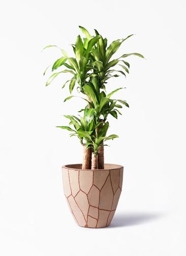 観葉植物 ドラセナ 幸福の木 8号 ノーマル ウィスク 付き