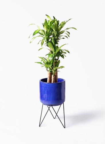 観葉植物 ドラセナ 幸福の木 8号 ノーマル ビトロ エンデカ 鉢カバースタンド付 ブルー 付き