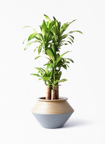 観葉植物 ドラセナ 幸福の木 8号 ノーマル アルマジャー グレー 付き