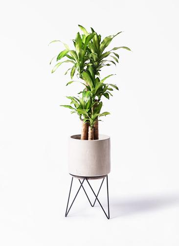 観葉植物 ドラセナ 幸福の木 8号 ノーマル ビトロ エンデカ 鉢カバースタンド付 クリーム 付き