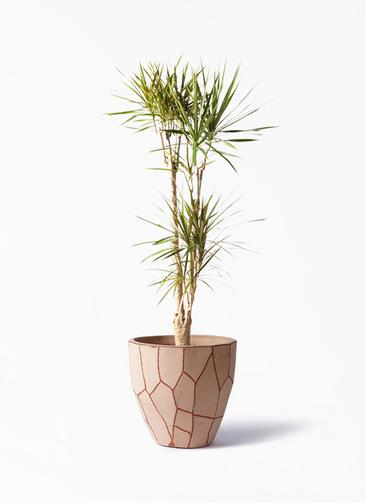 観葉植物 ドラセナ コンシンネ 8号 ウィスク 付き
