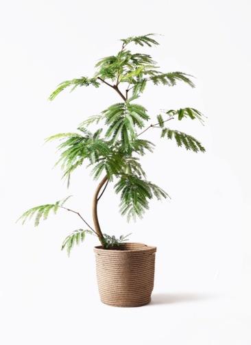 観葉植物 エバーフレッシュ 8号 曲り リブバスケットNatural 付き