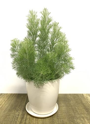 観葉植物 【45cm】 ウーリーブッシュ4号 #23489