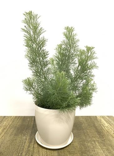 観葉植物 【40cm】 ウーリーブッシュ4号 #23491