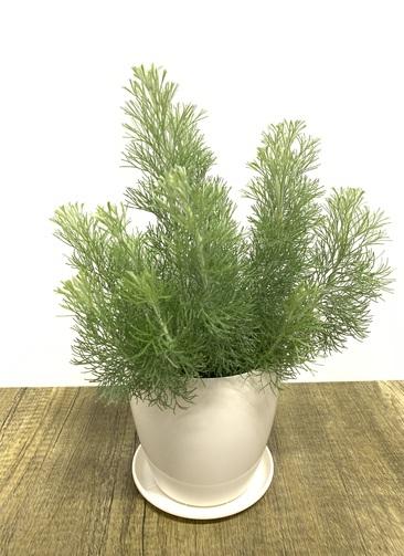 観葉植物 【40cm】ウーリーブッシュ 4号 #23492
