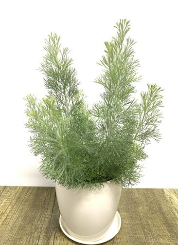 観葉植物 【40cm】 ウーリーブッシュ4号 #23493