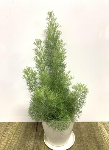 観葉植物 【50cm】ウーリーブッシュ 4号 #23494