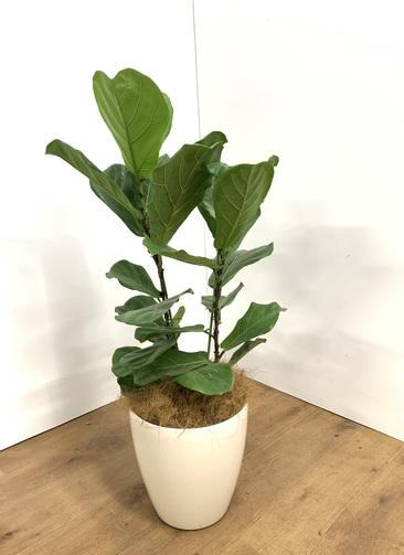 観葉植物 【100cm】フィカスリラータ 8号 #23495
