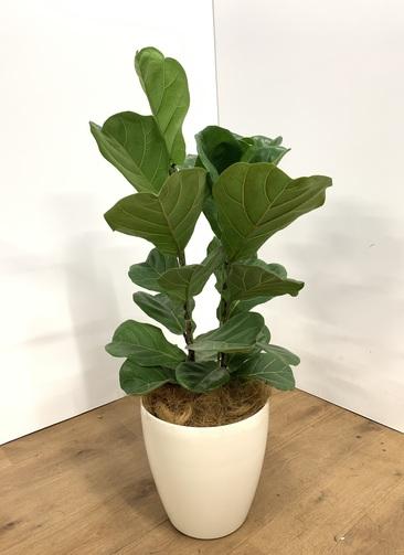 観葉植物 【100cm】 フィカスリラータ8号 #23496