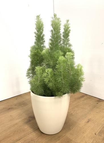 観葉植物 【70cm】ウーリーブッシュ 7号 #23497
