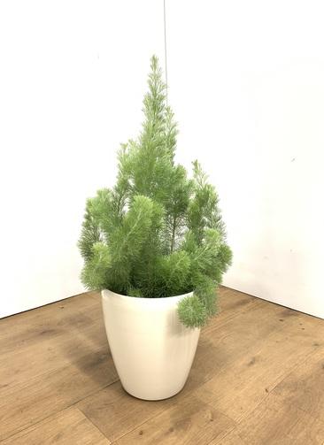 観葉植物 【70cm】ウーリーブッシュ 7号 #23498