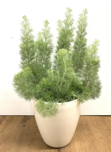 観葉植物 【70cm】 ウーリーブッシュ7号 #23499