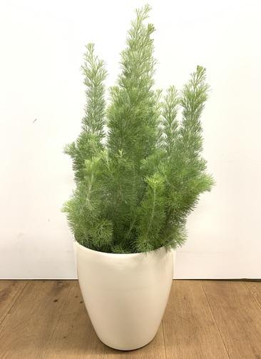 観葉植物 【80cm】ウーリーブッシュ 7号 #23500