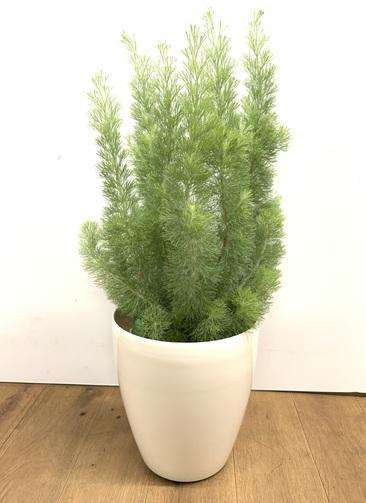 観葉植物 【80cm】 ウーリーブッシュ7号 #23501