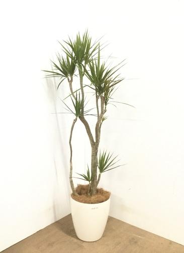 観葉植物 ドラセナ コンシンネ 【150cm】 ドラセナ コンシンネ 8号 #23101 ラスターポット付き
