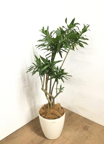 観葉植物 ドラセナ ソング オブ ジャマイカ 【110cm】 ドラセナ ソング オブ ジャマイカ 8号 #23095 ラスターポット付き