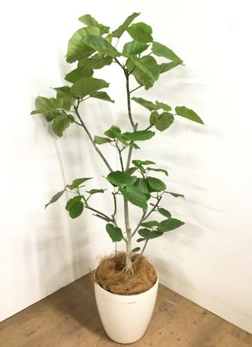 観葉植物 フィカス ウンベラータ 【170cm】 フィカス ウンベラータ 10号 #23212 ラスターポット付き