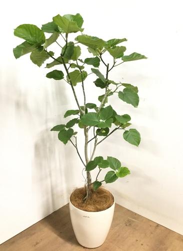 観葉植物 フィカス ウンベラータ 【170cm】 フィカス ウンベラータ 10号 #23220 ラスターポット付き