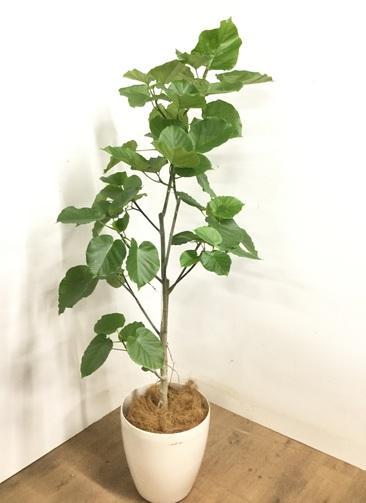 観葉植物 フィカス ウンベラータ 【175cm】 フィカス ウンベラータ 10号 #23234 ラスターポット付き