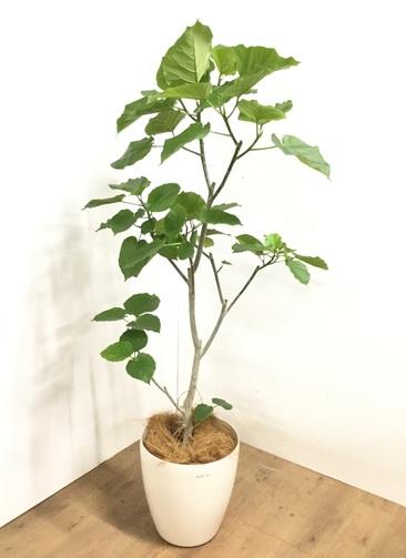観葉植物 フィカス ウンベラータ 【170cm】 フィカス ウンベラータ 10号 #23237 ラスターポット付き