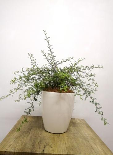 観葉植物 【60cm】 天皇梅6号 #23547