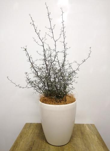 観葉植物 【75cm】コロキア コトネアスター 6号 #23551