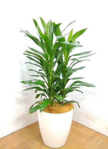 観葉植物 ドラセナ グローカル 【105cm】 ドラセナ グローカル 8号 #23353 ラスターポット付き
