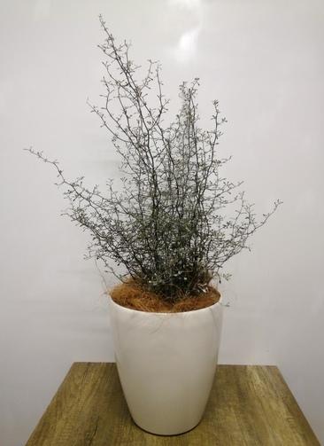 観葉植物 【80cm】 コロキア コトネアスター6号 #23553