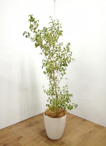 観葉植物 フィカス ベンジャミン 【145cm】 フィカス ベンジャミン バリエガーター8号 #23473 ラスターポット付き