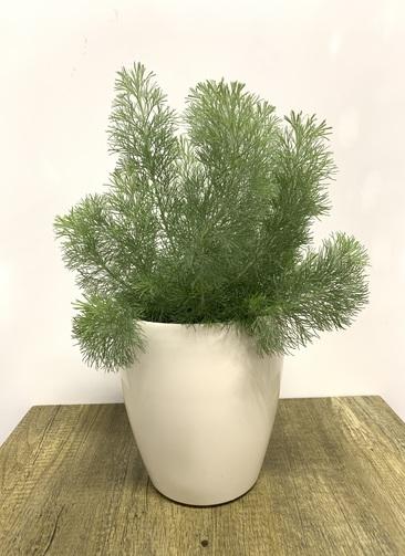 観葉植物   【50cm】ウーリーブッシュ 5号 #23478 ラスターポット付き