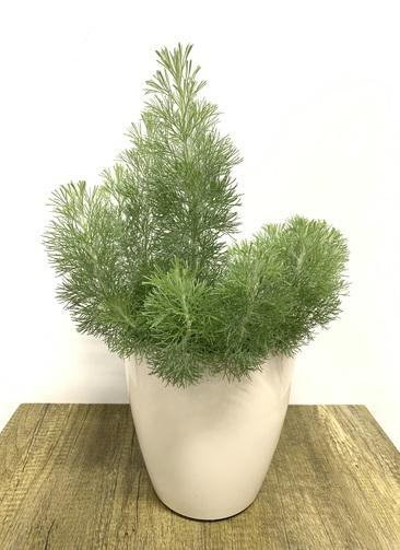 観葉植物 【50cm】 ウーリーブッシュ5号 #23480 ラスターポット付き