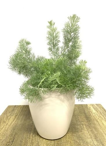 観葉植物   【50cm】ウーリーブッシュ 5号 #23482 ラスターポット付き